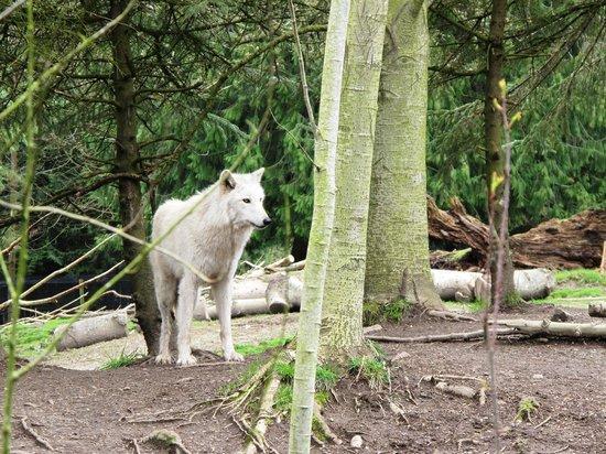 Woodland Park Zoo : White wolf