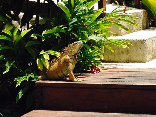 The Royal Corin Thermal Water Spa & Resort: Iguana named Alfonso