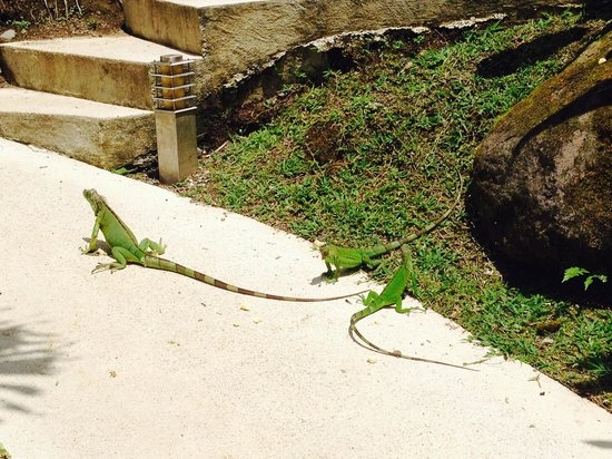 The Royal Corin Thermal Water Spa & Resort: Baby iguanas