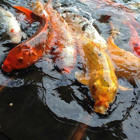Kaua'i Marriott Resort: Koi Fish - watching them be fed is definitely a highlight