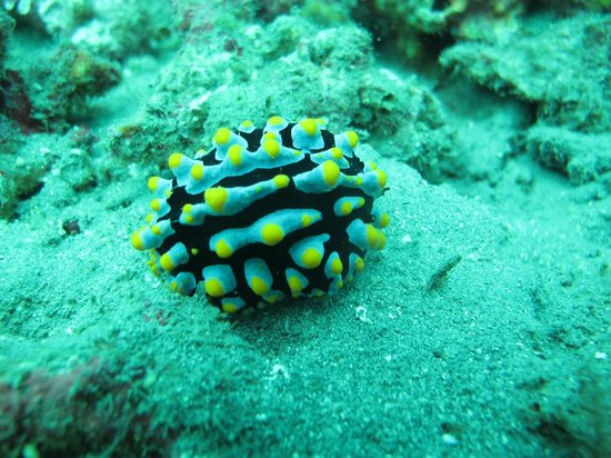 Biorock Pemuteran bali: Nudibranch