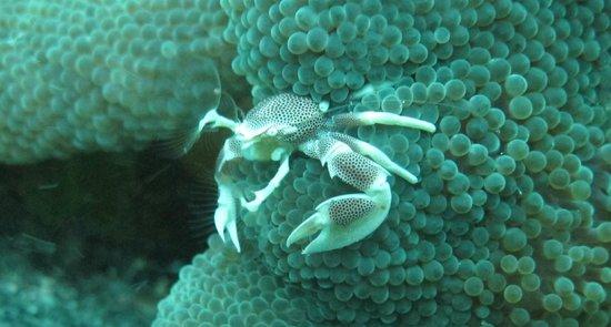 Biorock Pemuteran bali: Porcelain crab