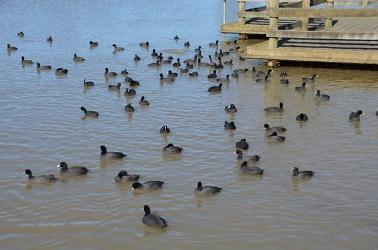 Wheelers Hill, Australia: Ducks gather for a feed