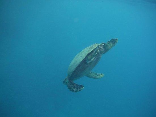 Manava Beach Resort & Spa - Moorea : Hawksbill turtle diving
