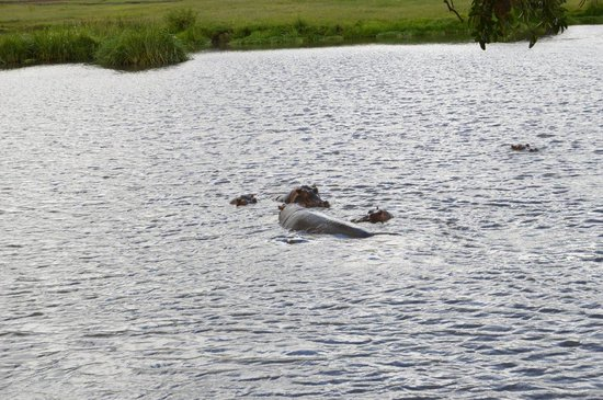 Serengeti Hippo Pool (Charca de Hipopótamos del Serengeti): Бегемоты