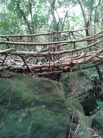 Cherrapunjee Holiday Resort: This Root Bridge is under preparation - may take next ten years to be completed by nature