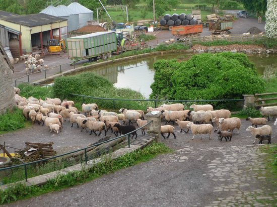 Huntlands Farm Bed & Breakfast : Great fun watching all the sheep being moved