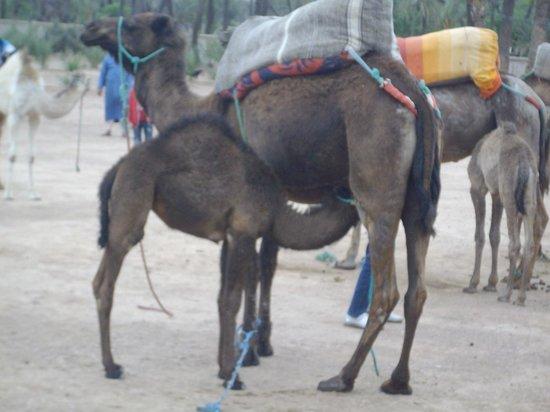 Morocco Discovery Holidays: Mother camel feeding calf
