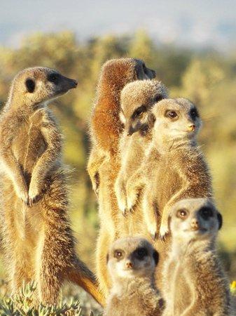 De Zeekoe Guest Farm: meerkat fun!