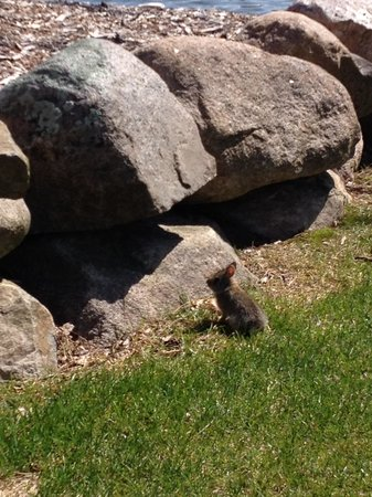 Kavanaugh's Sylvan Lake Resort: The Local Bunny!