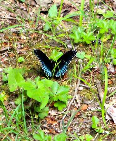 Park Vista - DoubleTree by Hilton Hotel - Gatlinburg: a butterfly we saw on one of the many trails with-in minutes of the Hotel