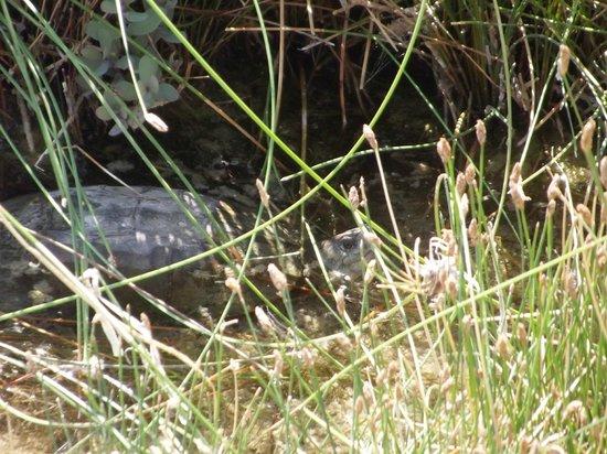 Cuatro Cienegas Reserve: Tortuga en Peligro de Extincion