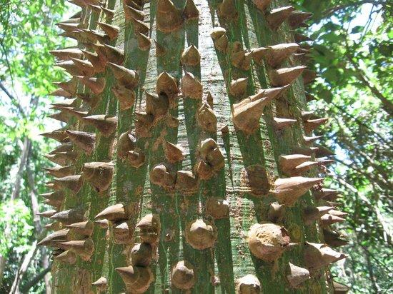 "Gumbalimba Park : Kapok tree a,k.a. ""Monkey No-Climb"""