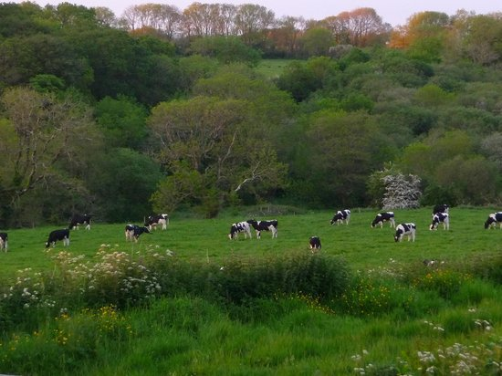 Knock Farm: Cattle Grazing