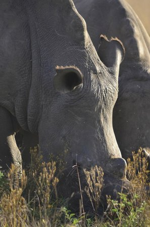 Makweti Safari Lodge: Great rhino viewing on the game drive