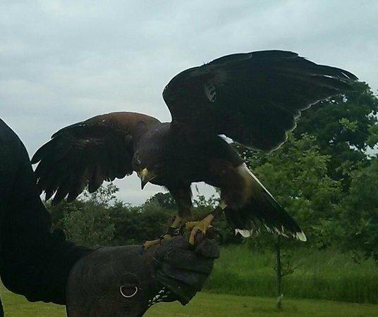 S&D Falconry: harris falcon