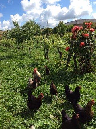 Chambres en Vigne: de huis-kippen