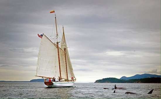 San Juan Classic Day Sailing : Private Charter aboard the Dirigo II - Sailing with the Orca Whales in the San Juan Islands!