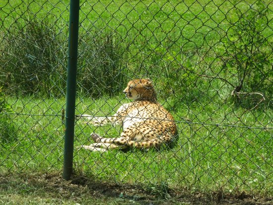 Safari Park: Ghepardo