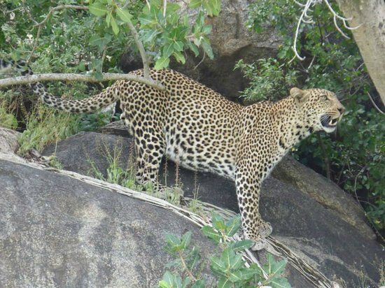 East Africa Adventure Tours and Safaris - Day Tours : Serengeti leopard