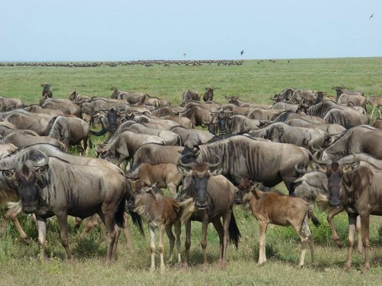 East Africa Adventure Tours and Safaris - Day Tours : Tanzania - wildebeest migration