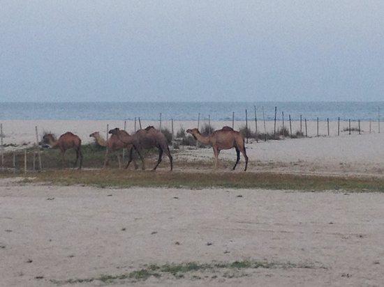 Hilton Salalah: Camels on the beach