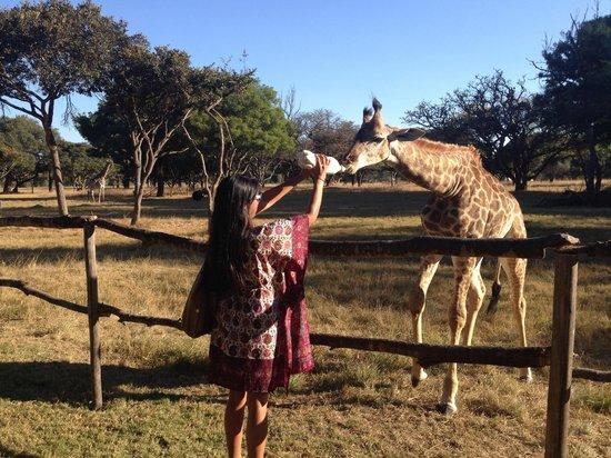 Wild Is Life Trust and ZEN: Bottle feeding a baby giraffe!!  :)