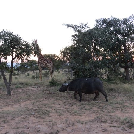 Ant's Hill & Ant's Nest : Giraffe and buffalo together!