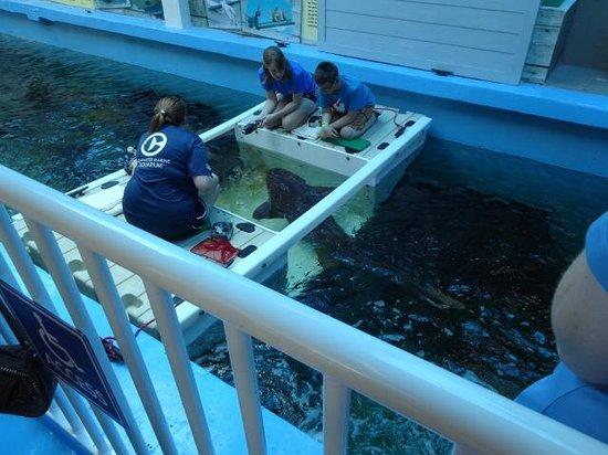 Clearwater Marine Aquarium : Feeding the Nurse Sharks