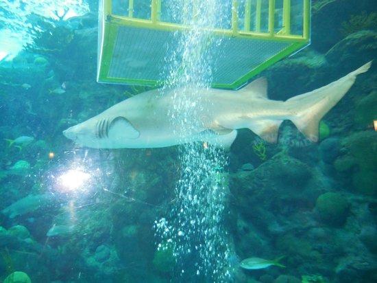 The Florida Aquarium : Shark on Dive in Florida Aquarium