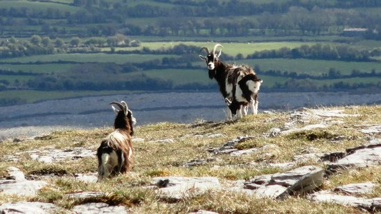 Cappabhaile House: goats