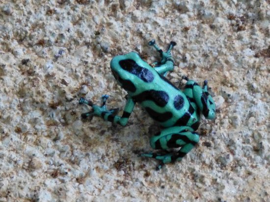 Selva Verde Lodge: the black and green poison dart frog
