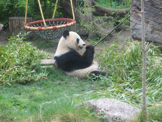 Tiergarten Schoenbrunn - Zoo Vienna : Panda
