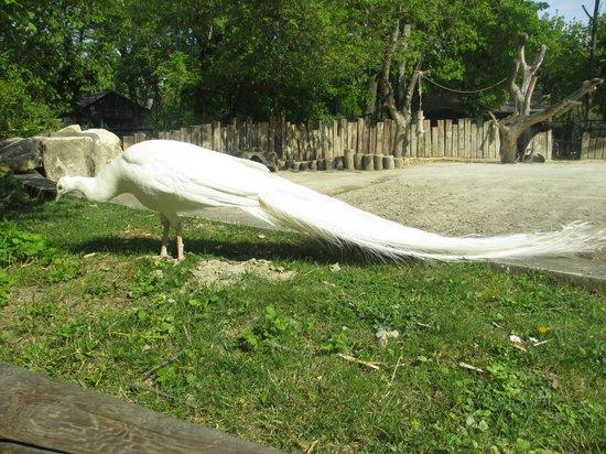 Tiergarten Schoenbrunn - Zoo Vienna : Pfau (wurde leider kurz nach diesen Aufnahmen von einem Eisbär im Zoo gefressen :( )