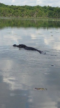 Champagne's Cajun Swamp Tours : One of the alligators we saw