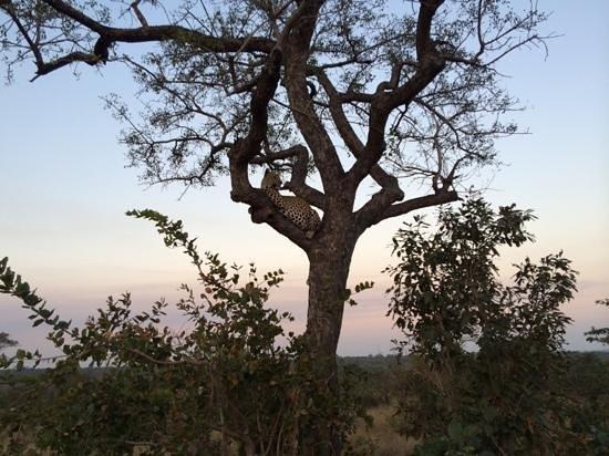 Ulusaba Rock Lodge: leopard