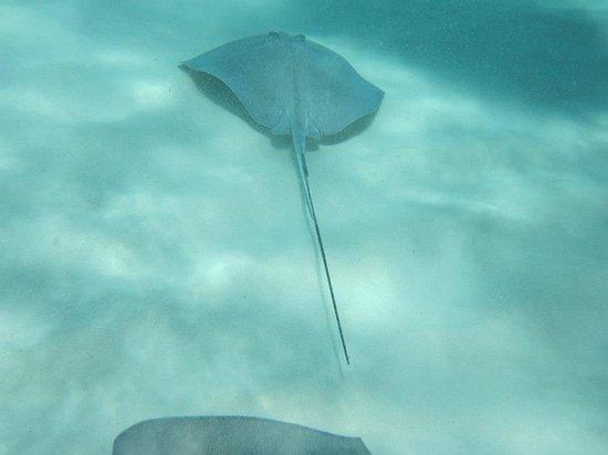 Ocean Frontiers: Stingray under water