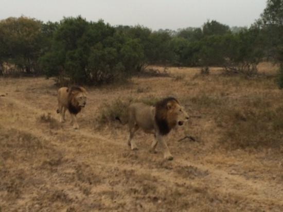 Ulusaba Rock Lodge: lions
