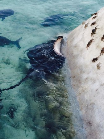 Ellaidhoo Maldives by Cinnamon : Evening feeding of travelli's and stingray