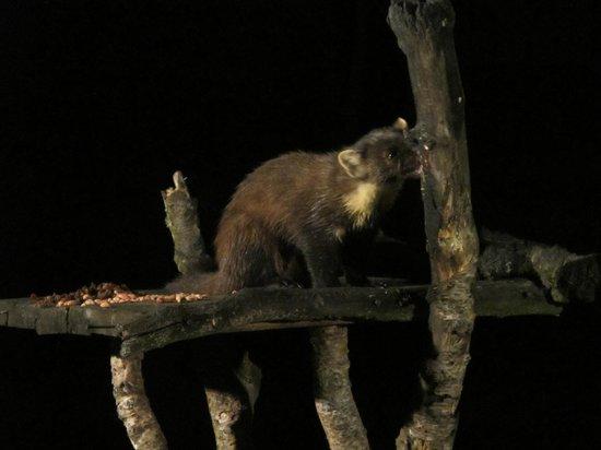 Speyside Wildlife: Pine Martin