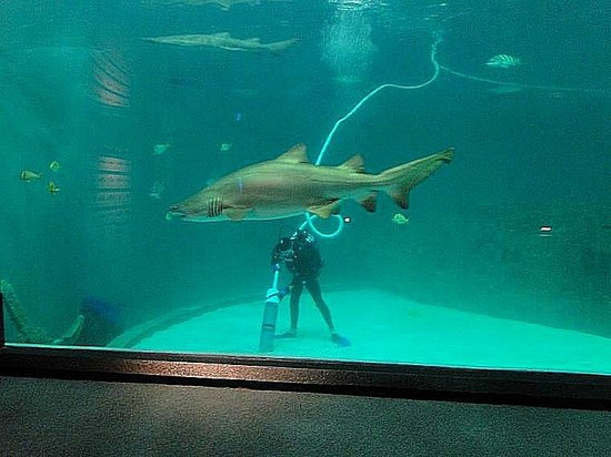 North Carolina Aquarium on Roanoke Island: diver cleaning shark tank