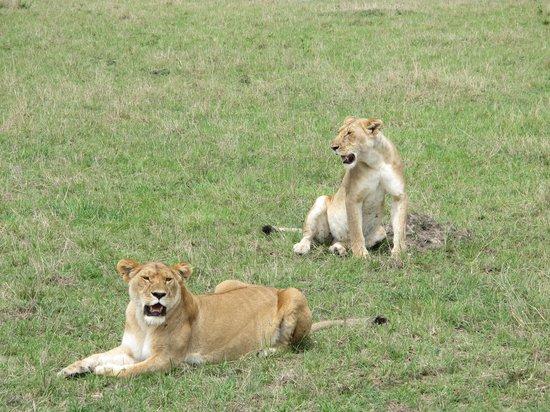 Elangata Olerai Luxury Tented Camp : Masai Mara Safari