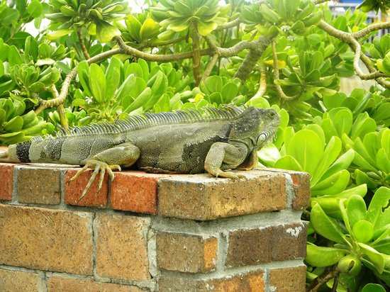 Breezy Palms Resort: Resident Iguanas
