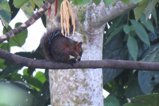 Arenal Springs Resort and Spa: Squirrel in the grounds