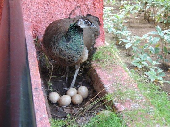 Iberostar Tucan Hotel: Un pavo real en el balcon