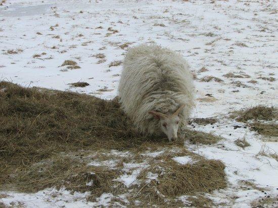 Hraunsnef Country Hotel: una ovejita