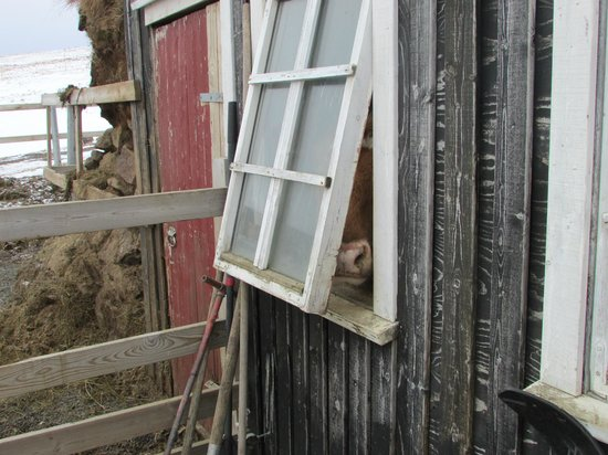 Hraunsnef Country Hotel: La vaquita escondida