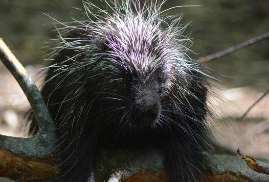 Maine Wildlife Park: Porcupine