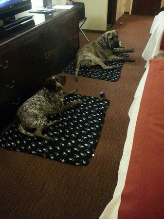 Prince George Hotel : Luna a German Shorthair Pointer (left) & Hank an English Mastiff enjoying their beds :)