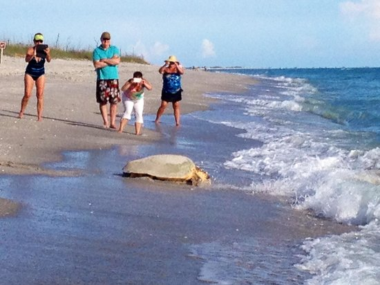Weston's WannaB Inn: Turtle heading back to the gulf after nesting at the Weston's beach